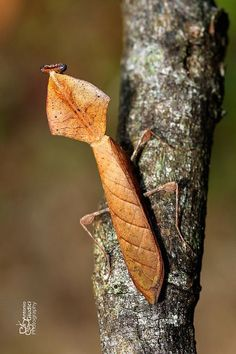 ˚Dead Leaf Mantis  by angiud @ Flickr