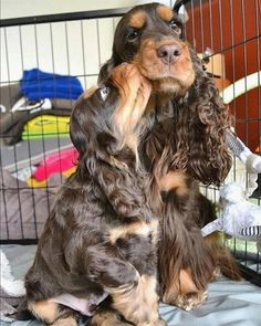 tag your friends . tag your friends who loves Black Cocker Spaniel Puppies, Blue Roan Cocker Spaniel, Cocker Spaniel Rescue, Spaniel Breeds, Spaniel Dog, Dog Breeds, Cocker Spaniel Anglais, Field Spaniel, Dog Hotel
