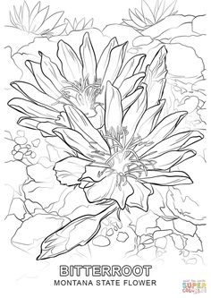 Montana State Flower Coloring Page From Category Select 27260 Printable Crafts Of Cartoons Nature Animals Bible And Many More