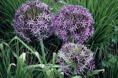 Alliums. Image: RHS