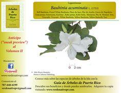 Bauhinia acuminata...redescubre este hermoso árbol ornamental...con la Guía de Árboles de Puerto Rico