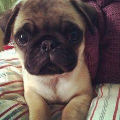 I need a baby...baby pug that is. xoxo