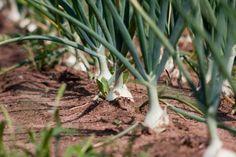 Como plantar cebolinha. A cebolinha é uma erva originária da Europa, mas muito comum não só em pratos mas em hortas das casas brasileiras de todas as regiões. Este é talvez um dos temperos mais utilizados na cozinha brasilei...