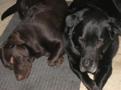 My two hunny bunnies - Lucky the Lab/Chow mix and Hershey the Chocolate Lab