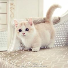 OMG cute kitten has short legs
