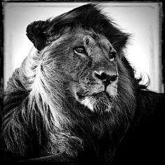 Photo en série limitée sur YellowKorner : Lion in the wind - Laurent Baheux