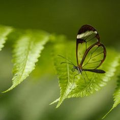Clear Butterfly - Costa Rica