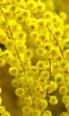 28 best mimosa images on pinterest yellow flowers mimosas and shrub beautiful acacia flower yellow glare acacia flower means secret love mightylinksfo