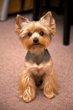 The Yorkshire Terrier is one of the smallest dog breed of terrier type, and of any dog breed. The breed developed during the century in Yorkshire, England. Ideally its maximum size is 7 pounds Yorkie Terrier, Yorkie Puppy, Terrier Dogs, Wheaten Terrier, Toy Yorkshire Terrier, Yorkshire Terrier Haircut, Yorkshire Puppies, Sweet Dogs, Cute Dogs