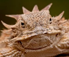 The regal horned lizard squirts blood out of its eyes to repel predators! Photo: Getty Images UK