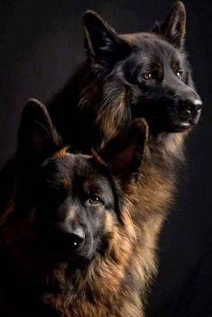 Wicked Training Your German Shepherd Dog Ideas. Mind Blowing Training Your German Shepherd Dog Ideas. Big Dogs, Cute Dogs, Dogs And Puppies, Doggies, Beautiful Dogs, Animals Beautiful, Beautiful Pictures, German Shepherd Puppies, German Shepherds