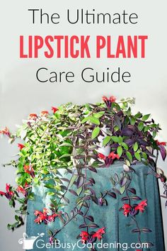 Lipstick Plant Care Guide: How To Care For A Lipstick Plant Lipstick plants are common flowering hou Container Plants, Container Gardening, Indoor Gardening, Gardening Tips, Organic Gardening, Outdoor Plants, Garden Plants, Plants Indoor, Potted Plants