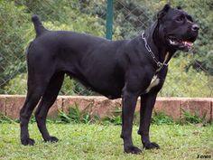 Cane corso...new dog breed
