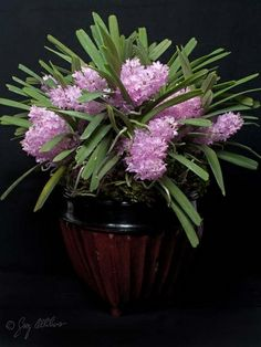 #Ascocentrum ampullaceum ('Crownfox Pink Glow' CCE/AOS)