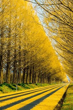Gingko Tree Highway, Japan. Autumn is so Lovely #japaneasy