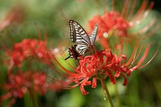 6 Red Spider Lily Bulbs Bee Moth Butterfly Magnet by WaWasGarden, $11.00