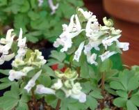 Bulbous Plants - Bulbous Plants for Shade - Corydalis solida Evening Shade