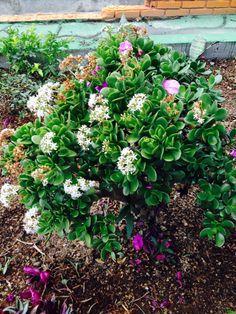 Arbol de Jade floriado para la buena suerte.