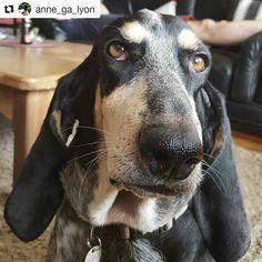 📰 Portrait de IMBA d'An Naoned 💕 Femelle Basset bleu de Gascogne née le 05/06/13 (Capri d'An Naoned x Gavroche des Plaines de la Mare Jouenne) 📷 www.mathuvu.fr  #basset #bbg #bassetbleudegascogne #portrait #dogportrait #dog #chien #hund #pet #cani #dogpics #petpics #picture #doglove #dogmasternews #portraiture #amourdechien #bassetoftheday #portraitoftheday