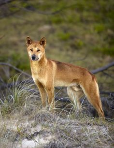 Around 300 dingos live on Fraser Island in Queensland, Australia. At more than 80 miles in length, it's the longest sandbank in the world // photo by Matt Munro ** This is a beautiful dingo. Tame Animals, African Wild Dog, Australia Animals, Australian Birds, Wild Dogs, Animals Beautiful, Beautiful Things, Animal Photography, Pet Birds