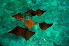 While I was exploring the shallow mangrove islets of Islas Bocas del Toro, a school of cow-nosed eagle rays passed within a few meters of my...