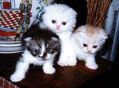 Scottish Fold kitten as like cute and beautiful cat breeds. Make them as your favorite pet's.