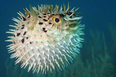 Photo about Blowfish or diodon holocanthus underwater in ocean in tropical destination. Image of balloonfish, blowfish, dive - 29142102 Poisonous Animals, Balloon Fish, Animal Facts, Mundo Animal, Tier Fotos, Animals Of The World, Ocean Life, Marine Life, Sea Creatures