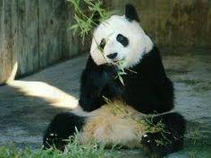 Risultati immagini per panda good animale