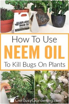 Triumph in your battle against destructive insects: Control the bad bugs in your garden without harming beneficial insects using a DIY pest spray made from neem oil. It's cheaper and healthier for outdoor and indoor plants, with no harmful chemicals or poisons. This easy, organic insecticide is a great choice for houseplants and gardens. Learn about neem oil benefits, and how you can use it to create a homemade solution of non-toxic, all-natural pesticide to prevent and treat bug…
