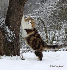 Absolutely BOSS! All my cats will be Maine Coons.