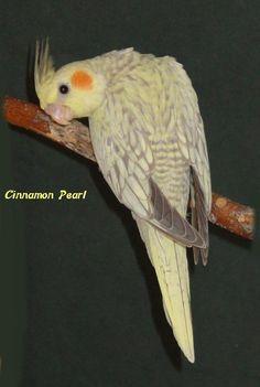 Cockatiel Pictures - Cinnamon Pearl Pied