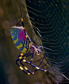 Nephila clavata spider, also known as the Jorō Spider is a member of the golden orb-web spider group. by stefanie Cool Insects, Bugs And Insects, Spiders And Snakes, Real Spiders, Cool Bugs, Motifs Animal, A Bug's Life, Beautiful Bugs, Mundo Animal