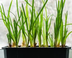 Onions are among the most often used vegetables. To learn how to grow onions in containers is the goal of this article. Easy Garden, Herb Garden, Vegetable Garden, Container Plants, Container Gardening, Gardening Tips, Market Garden, Garden Shop, Growing Spring Onions