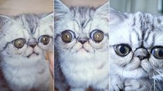 Herman the Scaredy cat is gaining popularity on the internet because of his huge eyes