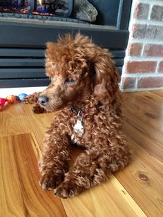 Charlie - Red Miniature Poodle - 6 months