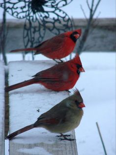 Trio on the arbor bench Cardinal Pictures, Bird Pictures, Pictures To Paint, Love Birds, Beautiful Birds, Winter Photography, Nature Photography, Colorful Birds, Exotic Birds