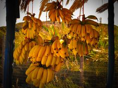 "Your Daily Moment of ""Go Slowly""  Delicious sweet juicy Cretan Bananas ... maybe the best ones ...!  www.cretetravel.com  #Bananas #Cretan #fruits #East #Crete #Vai #Summerday #Summer #Enjoy #Travelling"