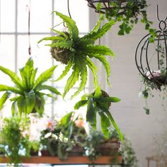 Curly Bird's Nest Fern String Garden in House + Home Branches + Flowers at Terrain