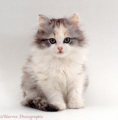 Tortoise Shell Fluffy Kitten.cute Animals are merely the cutest, this is the cutest thing ever :-)