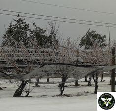 Winter Splendour!  Vineyard near St Catharines, Ontario after ice storm on Dec 22, 2013