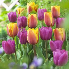 Veseys prides itself in offering you the best in seeds, bulbs, roses, gardening products and outstanding customer service. Our online catalogue contains all of the great products available in our printed catalogues, all backed by our satisfaction guarantee!