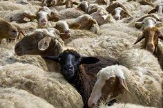 Our Sheep in the La Castelluccia Estate