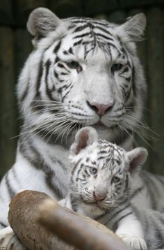 Amazing wildlife - White Bengal Tiger and cub photo #tigers