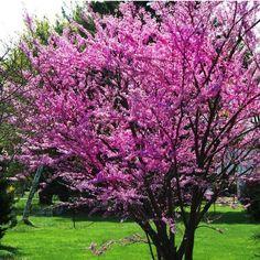 20+ Eastern Redbud Tree Seeds , Under The Sun Seeds