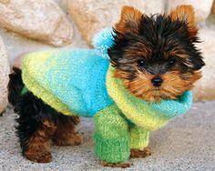 Teddy bear Yorkshire Terrier puppy.