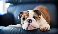 The major breeds of bulldogs are English bulldog, American bulldog, and French bulldog. The bulldog has a broad shoulder which matches with the head. Bulldog Breeds, English Bulldog Puppies, British Bulldog, French Bulldog, Cute Puppies, Cute Dogs, Dogs And Puppies, Doggies, Big Dogs