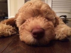 Another DownUnder Labradoodle puppy, fast asleep after a long play day with her new forever family! So adorable! Play Day, Labradoodles, Cute Animals, Puppies, Dogs, Animales, Pretty Animals, Cubs, Cutest Animals