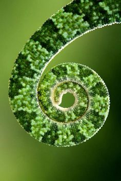 Chameleon Tail   By: mehmet karaca