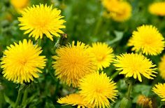 5 Ordinary Plants With Extraordinary Abilities Dandelion Leaves, Types Of Soil, Weed, Lawn, Nature, Alchemist, Concrete, Vitamins, Green Lawn