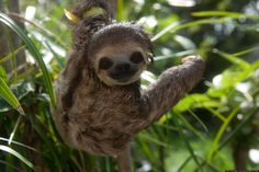The Cutest Sloth Of The Week